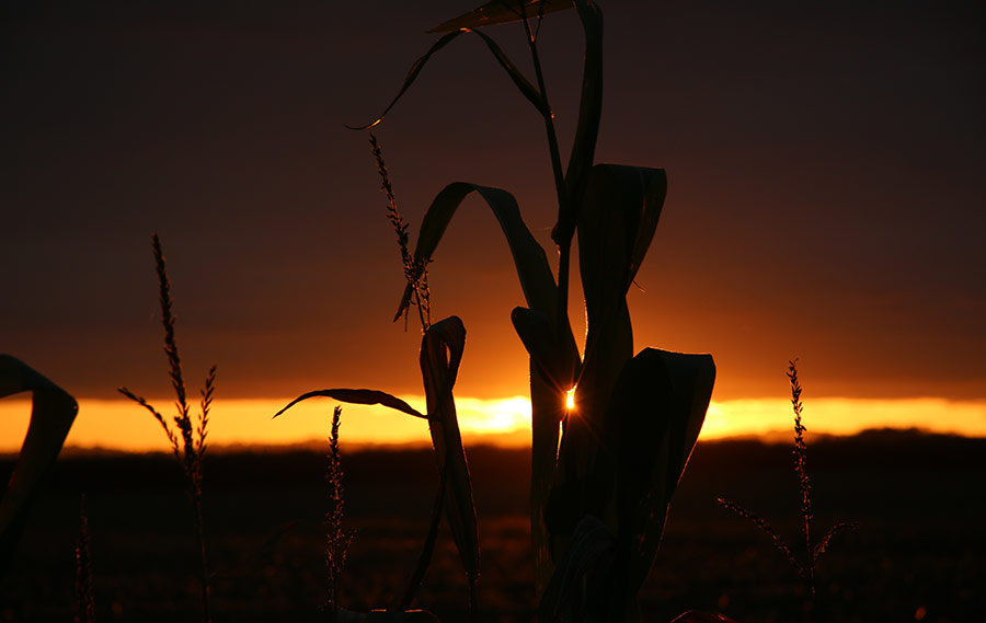 Maize at sunset by Charlie Criddle