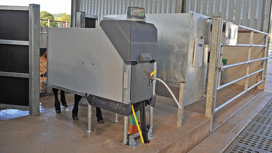 Calf in feeding station