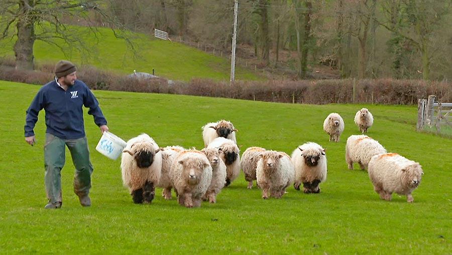 Sam Stables feeding his sheep