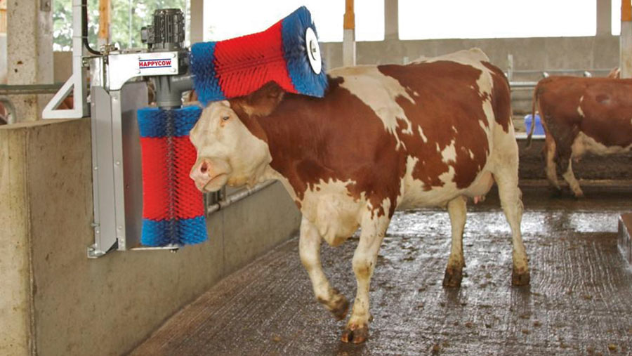 Cow using Farm and Country Direct duo cow brush