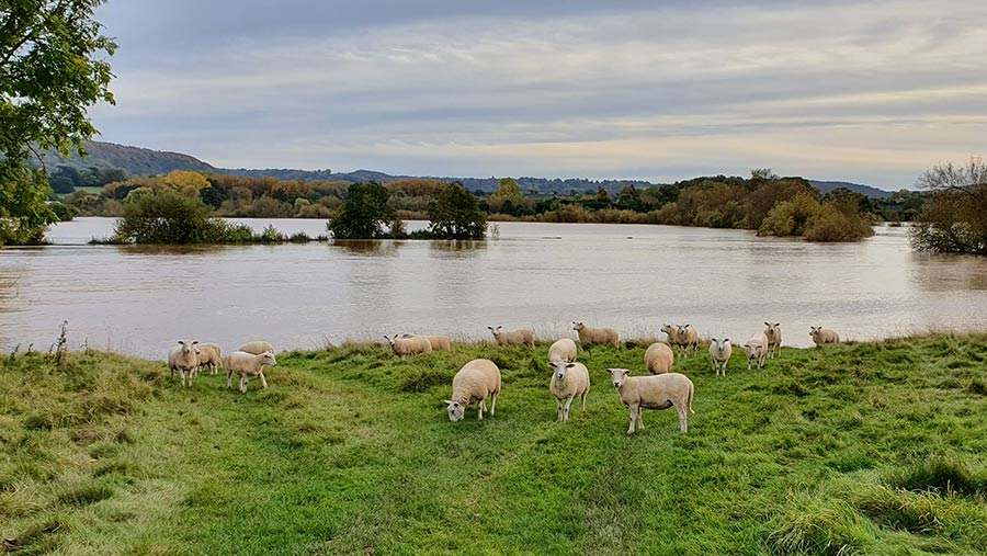Field flooded with sheep