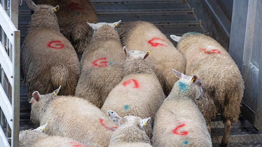 Finished lambs in an auction pen