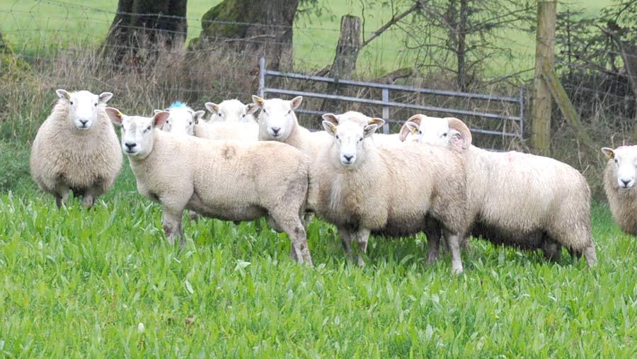 Ram lambs on herbal lays at Esgairllaethdy