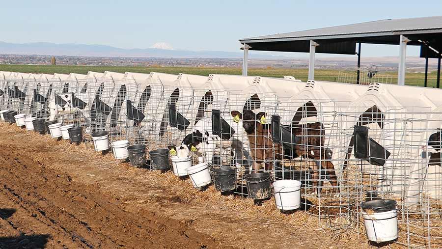 Calf hutches on US dairy farm