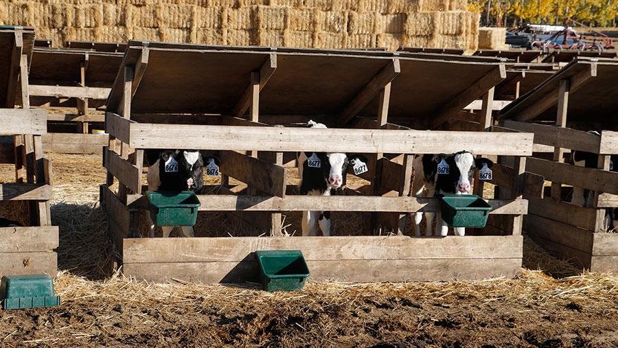 Calves in sheds
