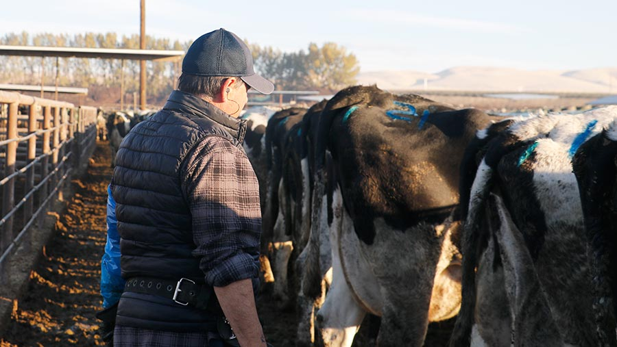 Worker with cattle on US dairy