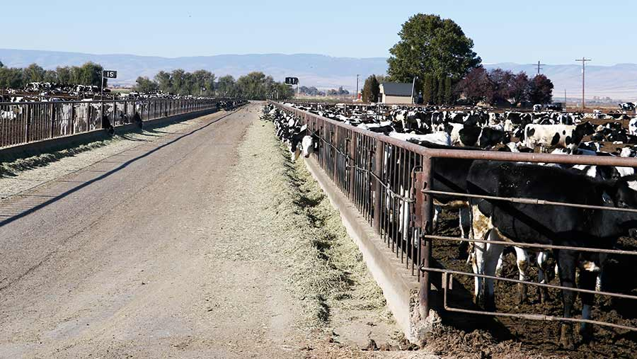 Dairy cows in open lot on US dairy farm
