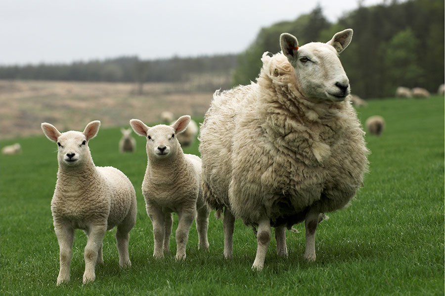 Sheep and 2 lambs in field