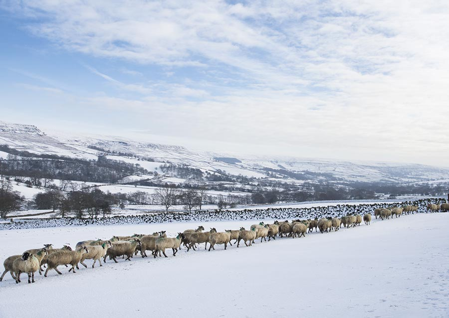 Queue of sheep in the snow