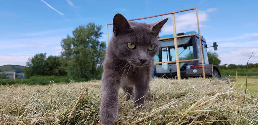 Cat walking through hay in field