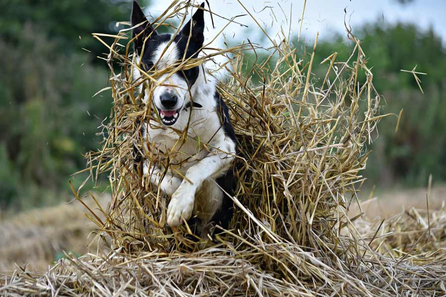 Dog jumping though straw