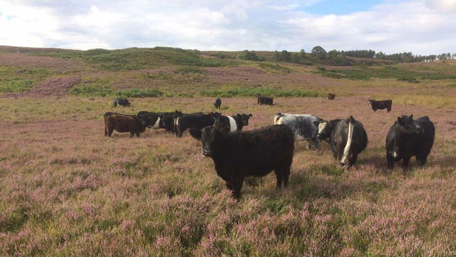 Belted Galloways in a field