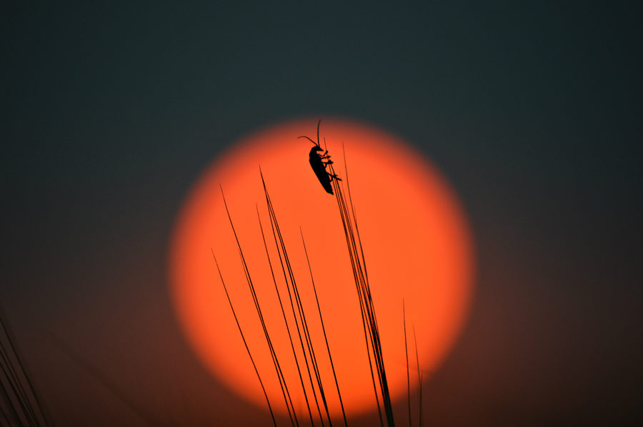 Insect on barley with sunset