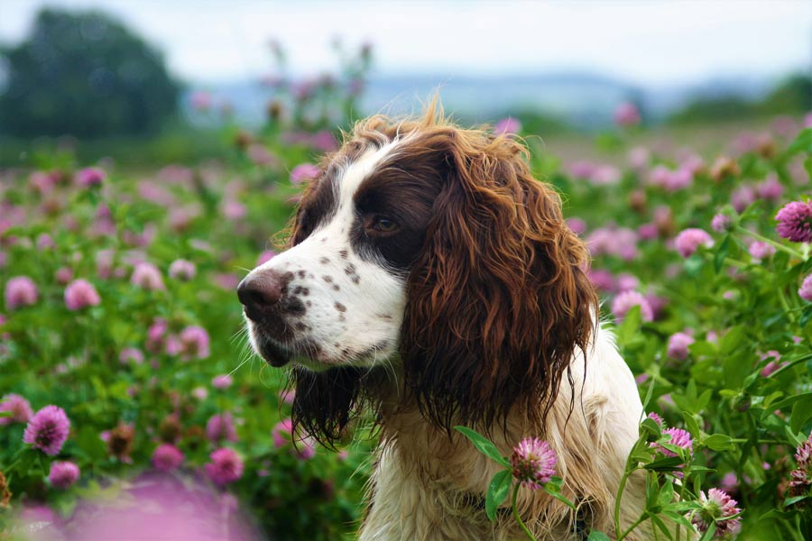 Dog in field of red clover