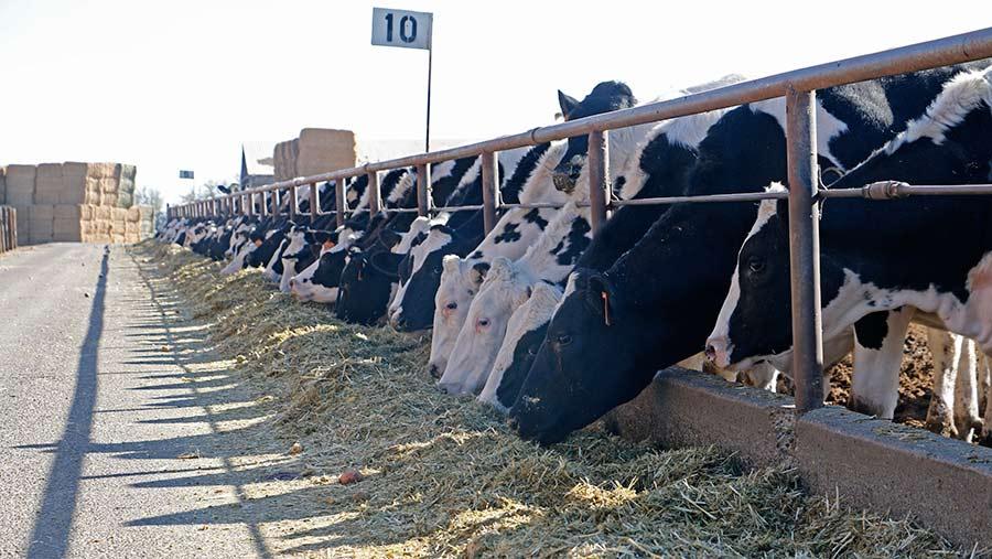 Dairy cows feeding on a US dairy farm