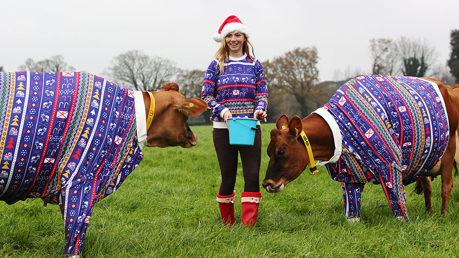 Jersey cows and woman wearing matching Christmas jumpers