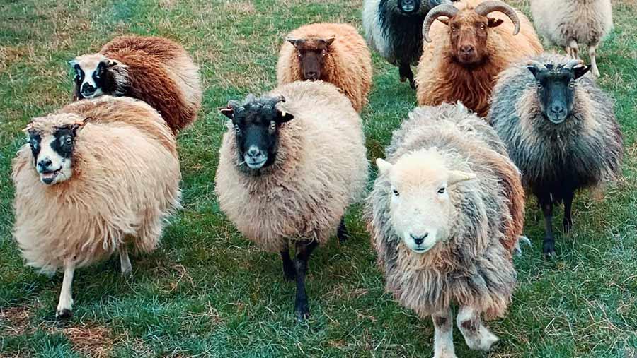 Flock of Icelandic cross Shetland sheep