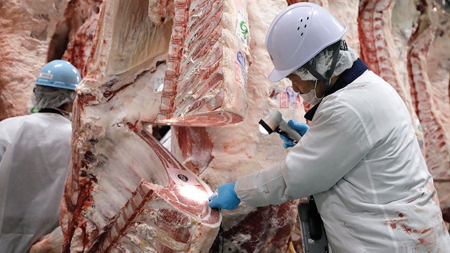 Beef carcass being graded