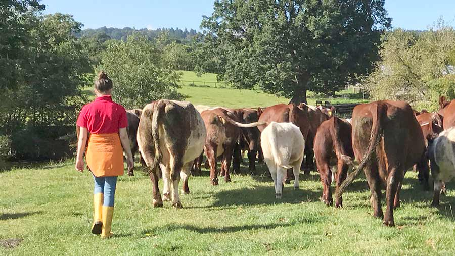 Woman walking with cows in field
