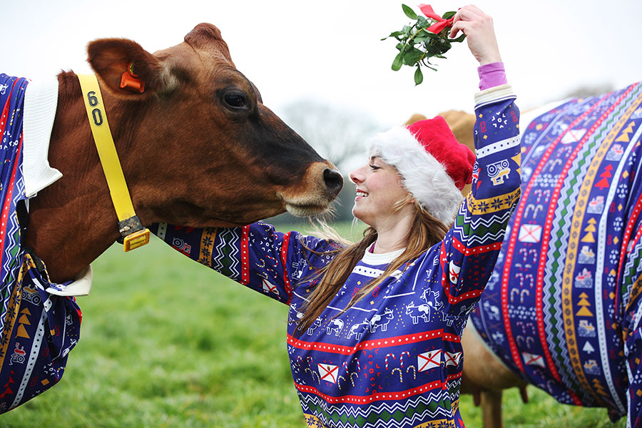 Woman in Christmas jumper holding mistletow above her head with cow in Christmas jumper in front of her
