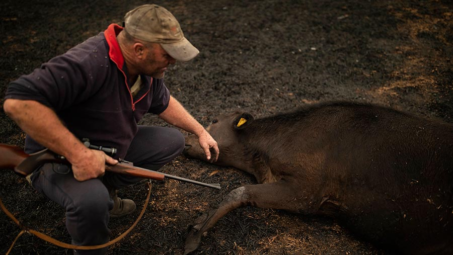 New South Wales farmer Steve Shipton with one of his culled cows © Sean Davey/EPA-EFE/Shutterstock