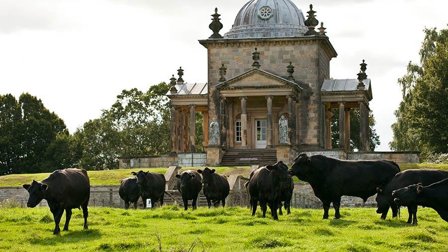 Aberdeen Angus cattle grazing at Castle Howard estate