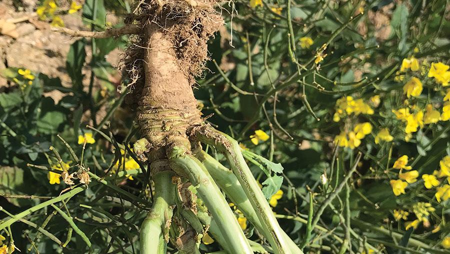 Defoliated oilseed rape plant