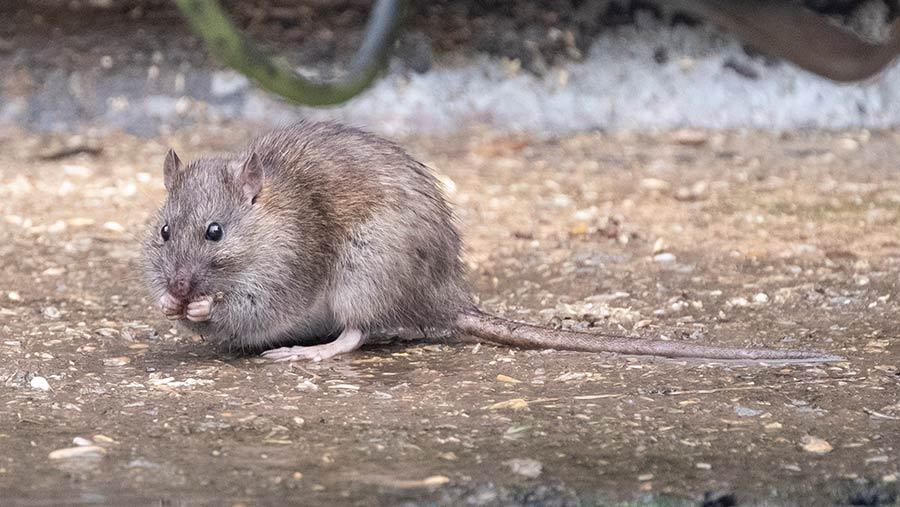 A rat in a farm yard