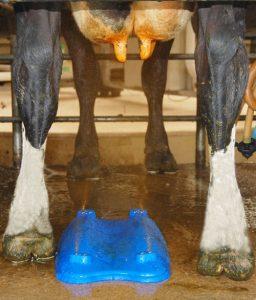 Locate'n'Spray under cow