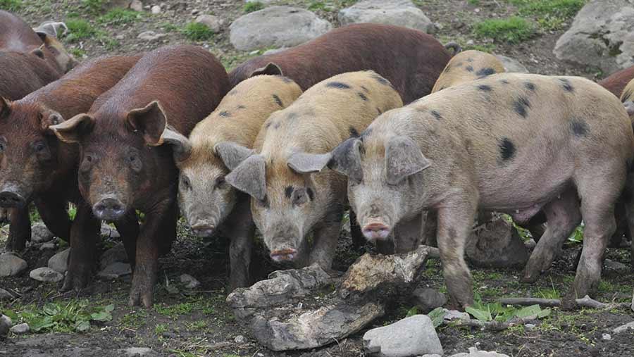 Pigs at Askham Farm