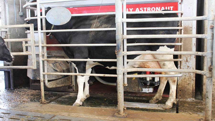 Cows being weighed