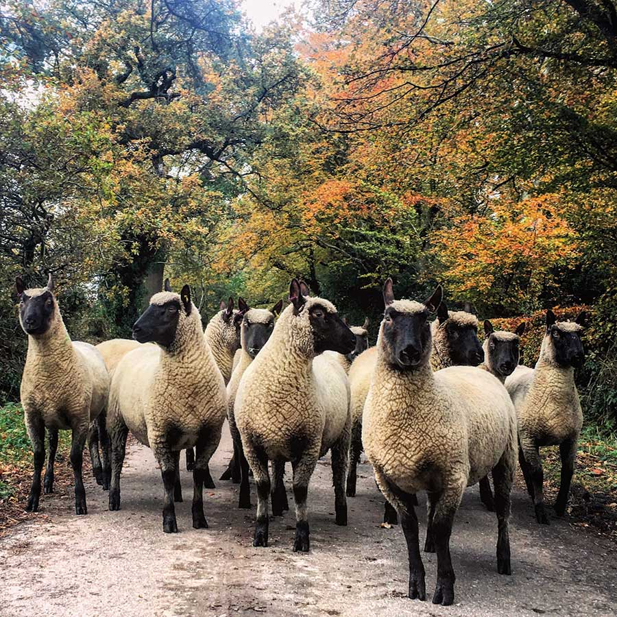 Group of Clun Forest ewe lambs