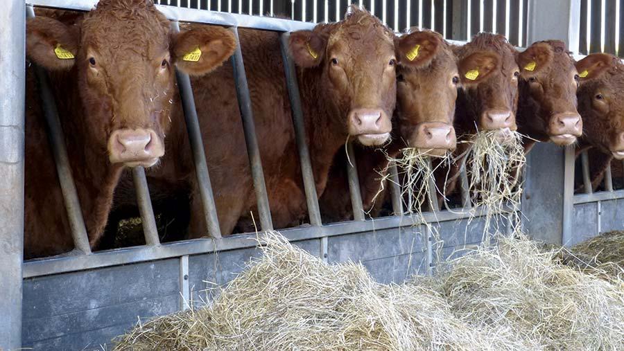 Suckler cows feeding