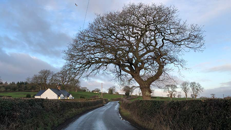 Diseased ash tree overhanging a country lane