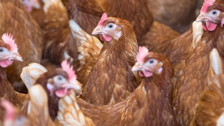 How To Dissect Chickens To Detect Disease Farmers Weekly