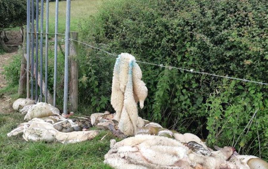 Sheep butchered in field
