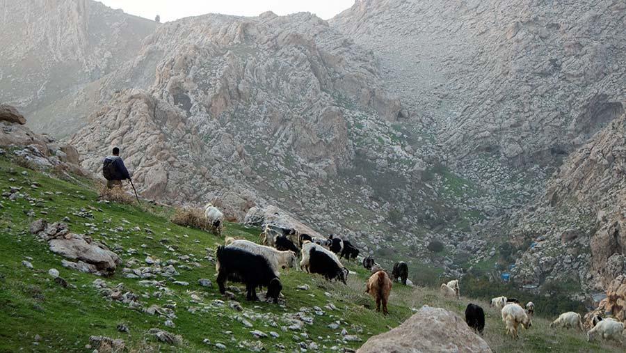 A goat farmer in Northern Iraq