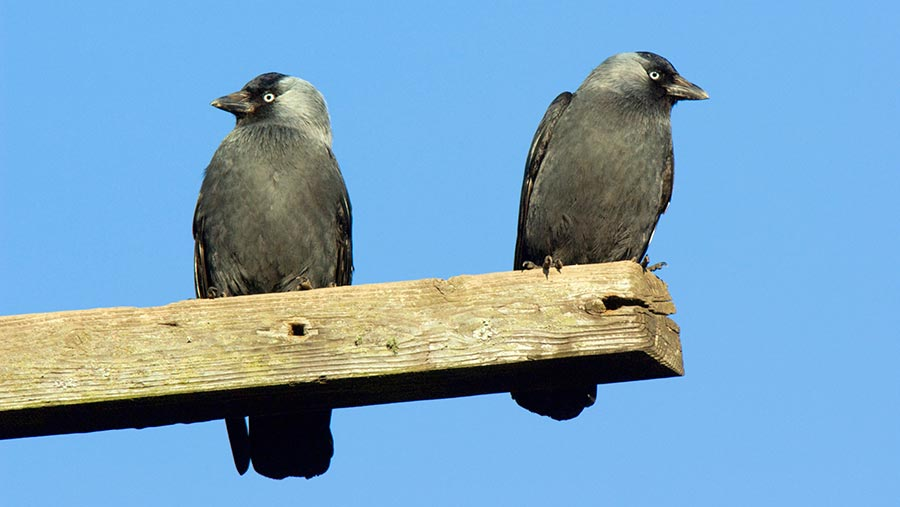 Wild Justice wants jackdaws removed from the licence © Duncan Shaw/Science Photo Library