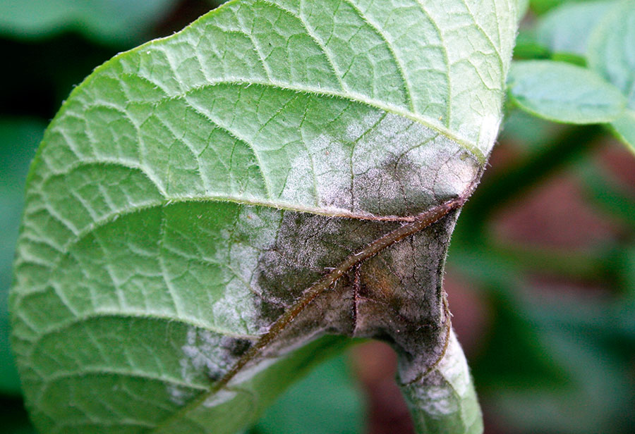 Blight infection on potato leaf