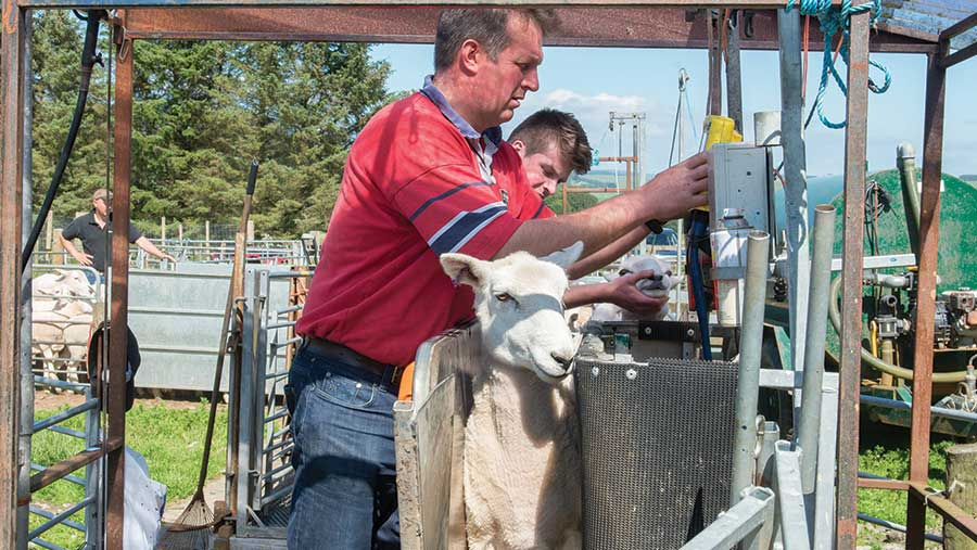 James Logan administering treatment to a sheep