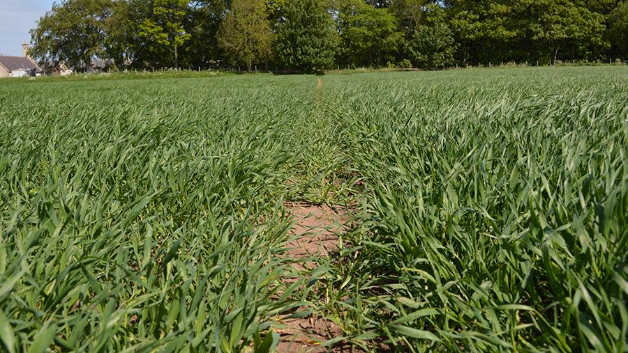 Scottish spring barley