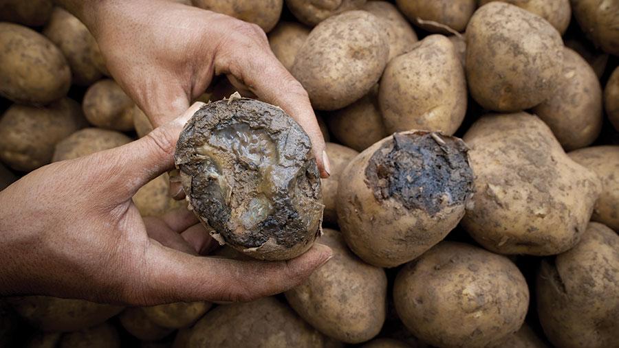 Tuber blight on potato