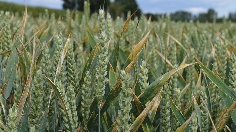 Septoria in wheat