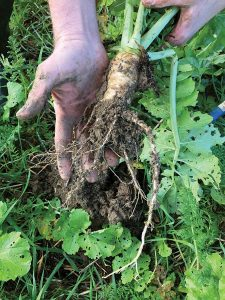Man shows how deep smart radish roots go