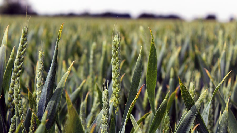Evolution winter wheat growing in Suffolk