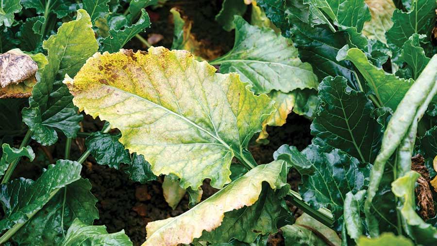 Virus yellows on beet leaf