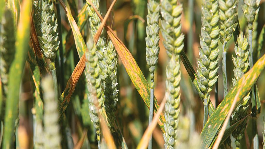 Yellow rust in winter wheat © Tim Scrivener