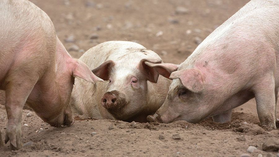 Pigs laying in mud