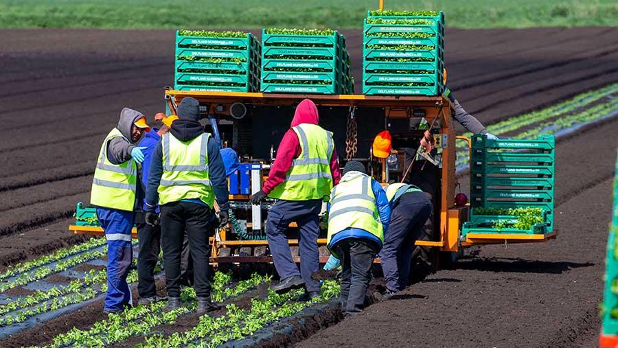 G's Growers workers planting celery in Cambridgeshire © Geoff Robinson/Shutterstock