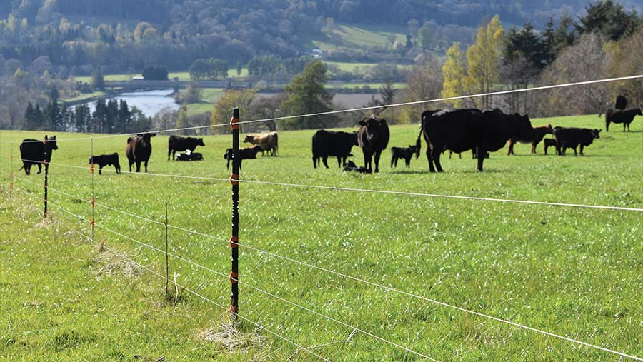 Electric fencing and cows